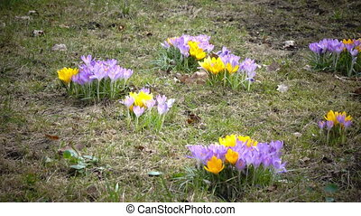 Early spring, crocus flowers against the background of a last year's grass