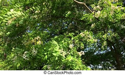 Blossoming acacia tree, top view, day