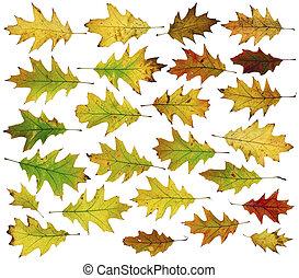 Twenty five autumn oak leaves - Twenty five autumn oak real...