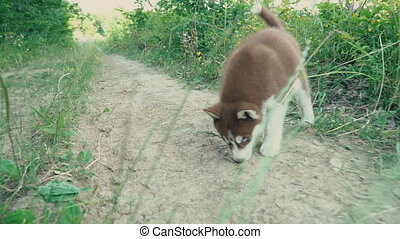 Pretty puppy of the Husky breed - Cute puppy of the husky...
