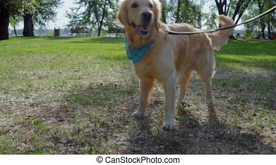 Nice purebred dog going in the park - Nice fur. Pleasant big...