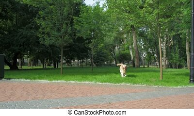 Purebred dog running in the park - Nice toy. Big purebred...
