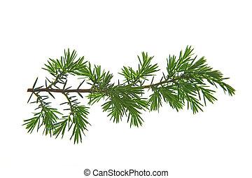 Common juniper (Juniperus communis) - Branch of common...