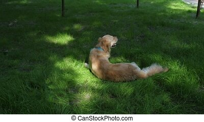 Purebred dog lying in the grass - Substantial rest. Purebred...
