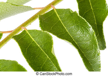 Curry Leaves - Isolated macro image of curry leaves.