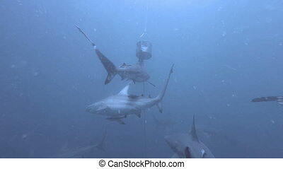Black tip Sharks swimming around bait