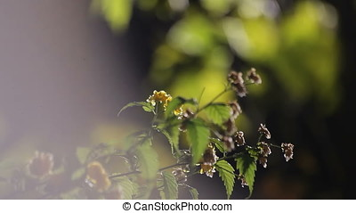 Yellow Cherry Plum Flowers in Nigth Flares Light - Yellow...