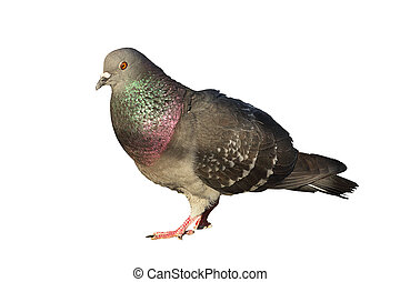 isolated feral pigeon - feral pigeon isolated over white...