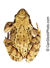 Rana temporaria over white background - Rana temporaria...