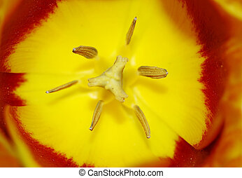 inside of the bloom of tulip - Close-up macro of the bloom -...
