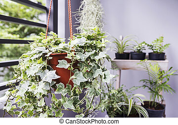 Home and garden concept of english ivy plant in pot on the...