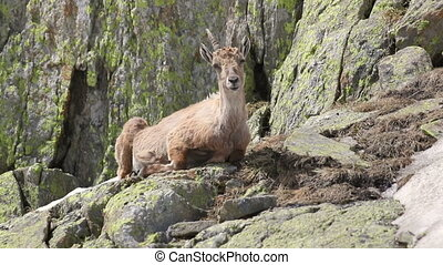 Ibex goat in its natural habitat