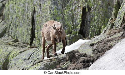 Ibex goat in its natural high mountain habitat