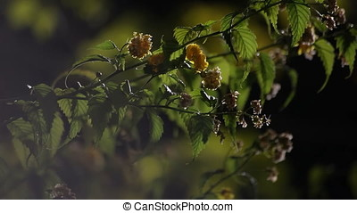Insects Flying to Myrobalan Flowers - Insects flying to...