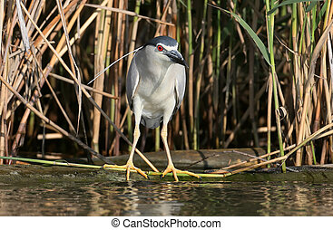 Night heron in breeding plumage hunting on the river