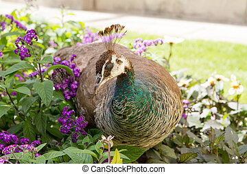 Peahen in a park walking among flowers