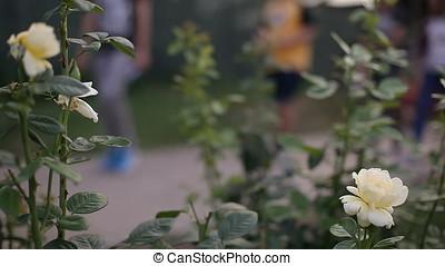People Walking Behind White Roses - Blurry people walking...