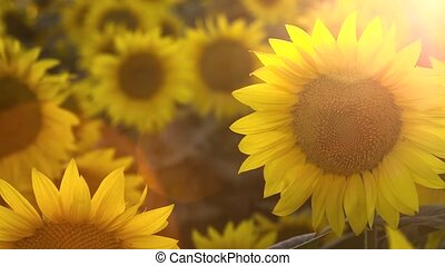 Field of blossoming sunflowers at sunset. Sun rays