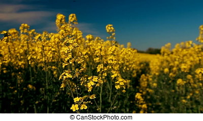 Canola Blossoms Foreground Focus - Closeup shot of rapeseed...
