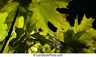 Back Lit Green Leaves Descriptive Pan - Back lit green...