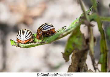two colorado potato bugs on potato bush close up in garden...