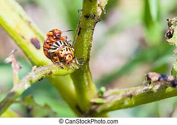 pair of colorado beetles on potato bush close up in garden...