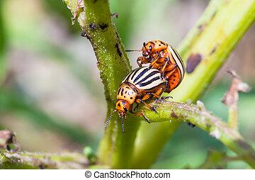 couple of colorado beetles on potato bush close up in garden...