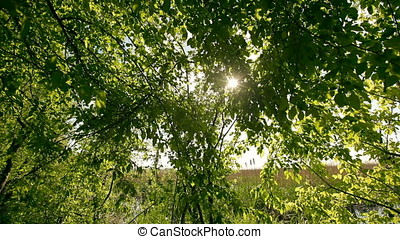 Sun Rays Through Leaves - Sun rays running through leaves.
