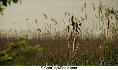 Closeup Shot of Cane in the Middle of Marsh - Closeup shot...