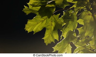 Pan of Back Lit Green Leaves in Night - Pan of back lit...