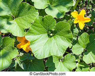 top view of flowers and leaves of zucchini plant