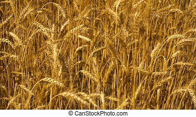girl holds a hand on wheat - a young girl holds a hand on...