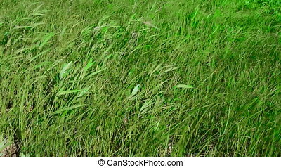 wind care grass in meadow - Strong summer wind care of grass...