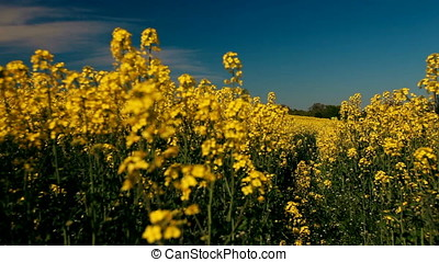 Canola Blossoms Background Focus - Blurry closeup shot of...