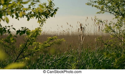 Canebrake Thicket of Grasses - Canebrake or canebreak...