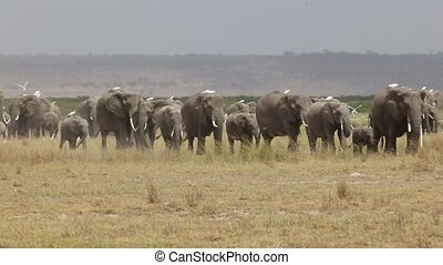 Herd of elephant walking across dusty plains in Amboseli...