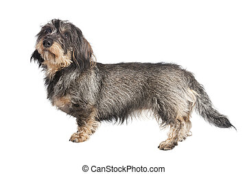 Dackel whole body isolated - A small wire-haired Dachshund...