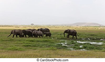 Herd of elephant after river bath in Amboseli National Park....
