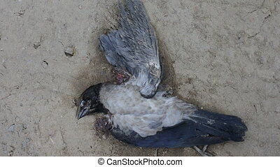 Dead (down) hooded crow - Death on road. Down hooded crow...