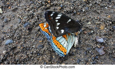 Dead butterfly Great viceroy - Death on road. Every day cars...