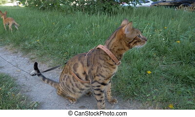 Bengal cat and dog toy terrier walks on green grass.