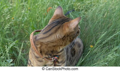 The one cat bengal walks on the green grass. Shooting speed...