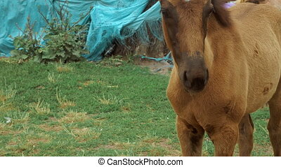 a small brown horse outdoors - close up of small brown horse...