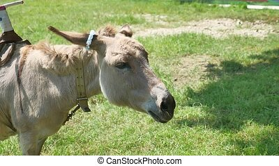 donkey a pet is grazing in a meadow. Donkey pet - donkey a...