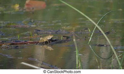 Frogs under sunbeam on surface of water in marshes