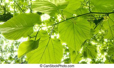 Tilo, primavera, árbol, follaje, fresco