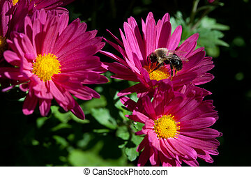 three flowers and a bee - a bee getting the last bit of food...