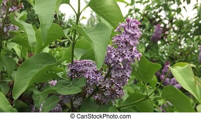 Purple flowers lilac tree. Branch with green nature leaves