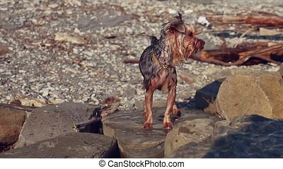 wet dog Yorkshire terrier stands on the stones near the sea....