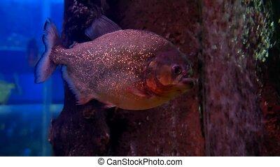 fish underwater in ocean. Fish swim video in a sea of...
